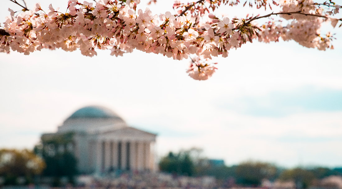 Cerisiers Jefferson Memorial | Washington DC